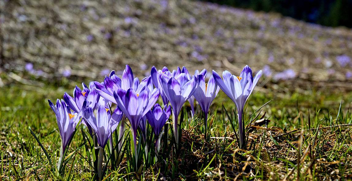 wiosna w zakopanem krokusy